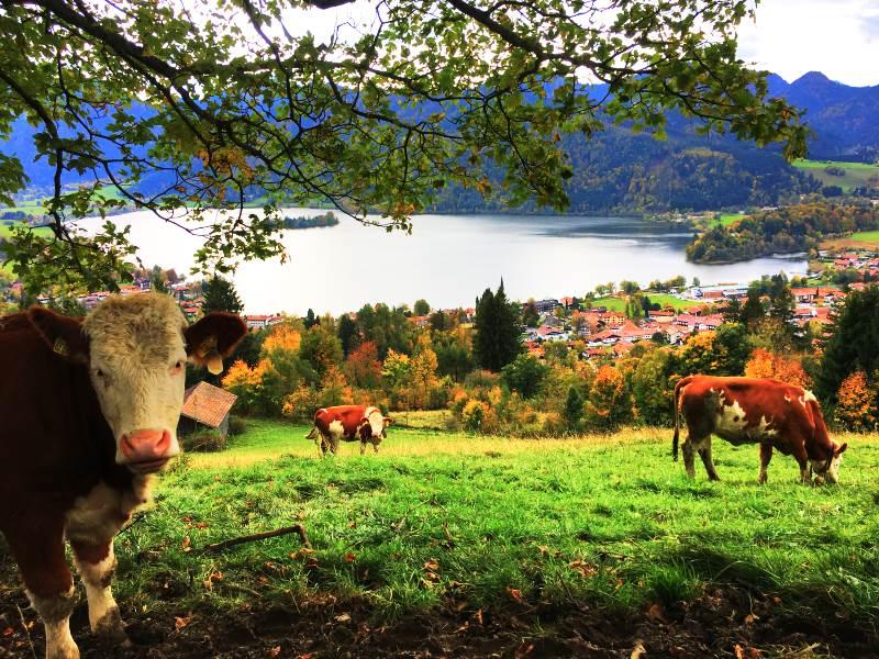Kuhwiese auf dem Weg zur Alm
